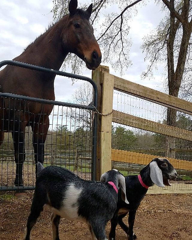 Bailey is not so sure about his new neighbors at the farm! 😯Welcome to RTF little girls! #moregoatsplease 🐐