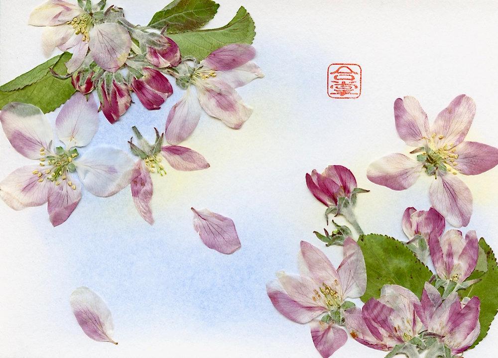 apple blossoms 2017.jpg