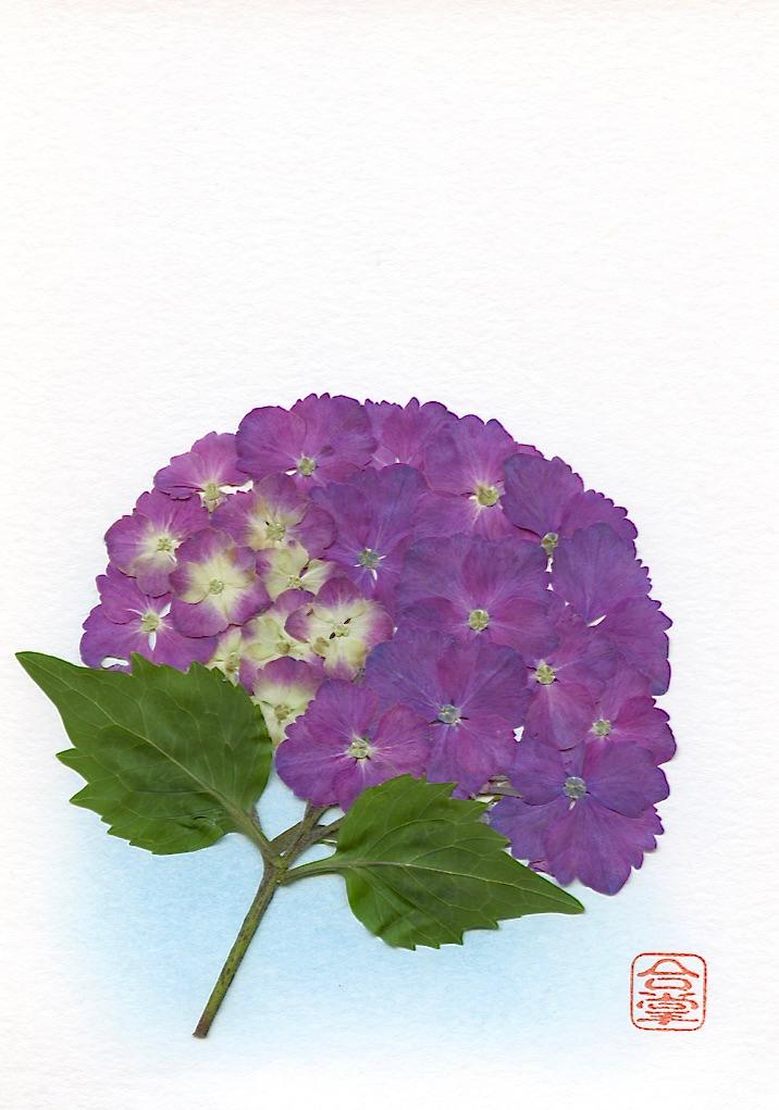 mophead purple hydrangeas 2017.jpg