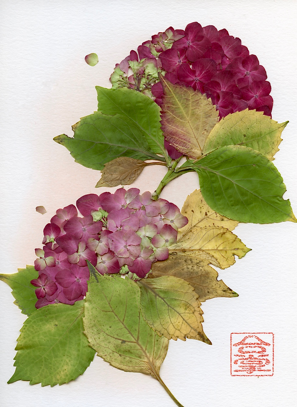winter hydrangea red 2017.jpg
