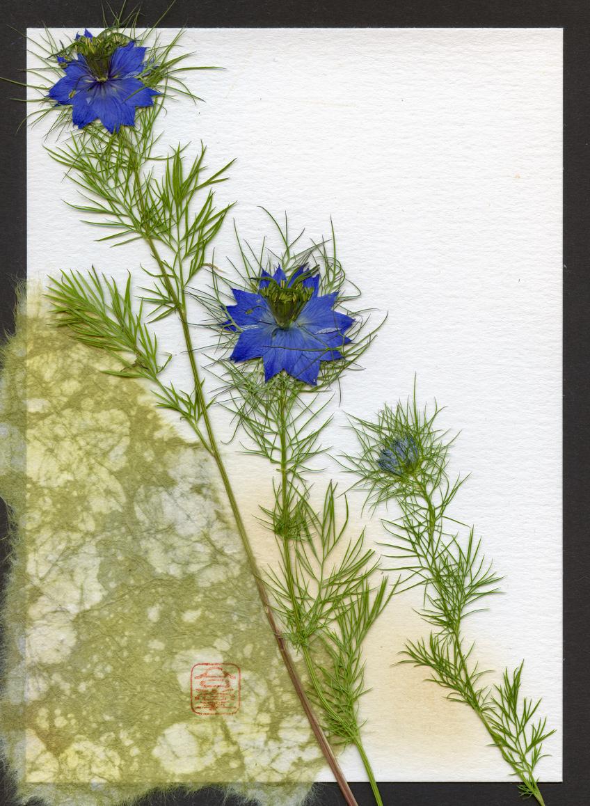 blue nigella 2018.jpg