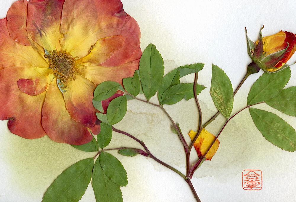 orange rose 2018.jpg