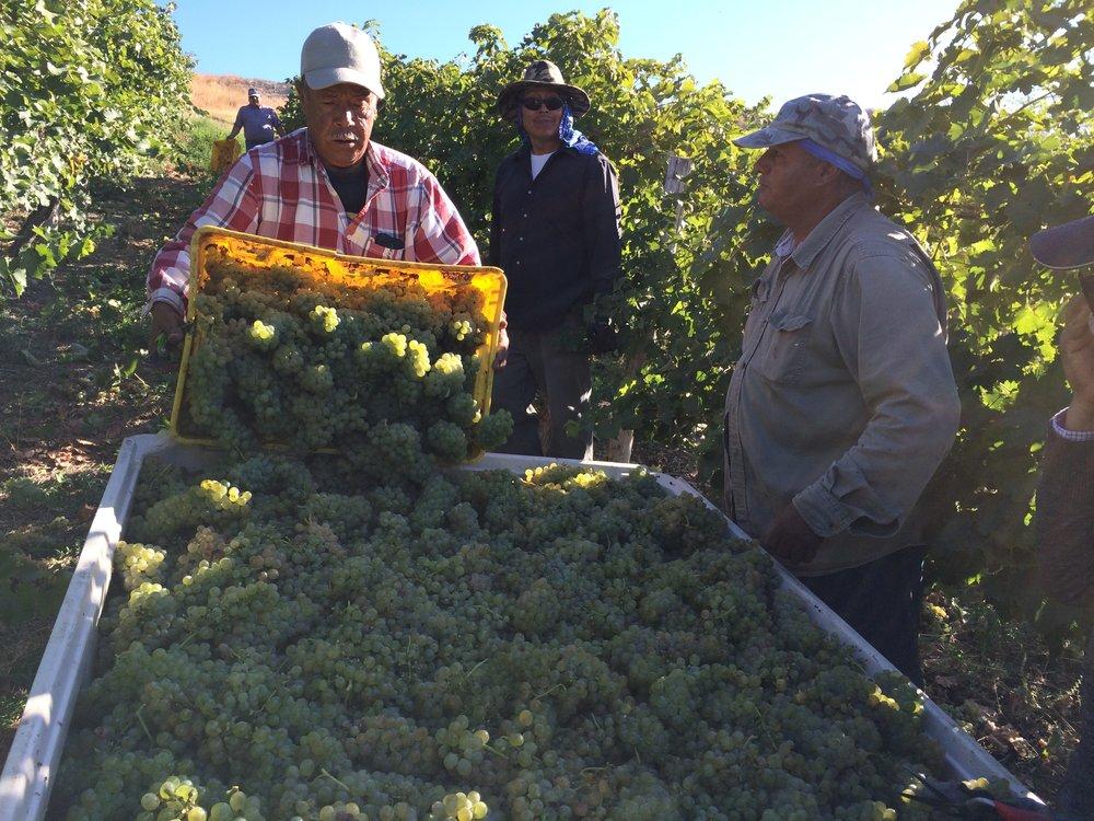 Estos trabajadores están cosechando mi chenin blanc en el viñedo de Upland