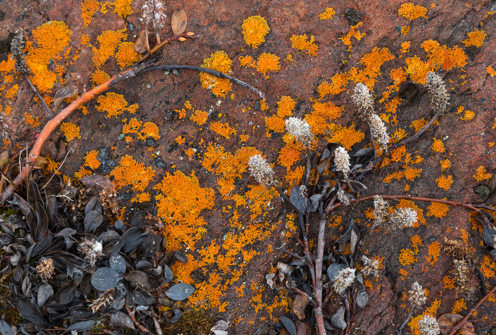 Willow and lichen growing on the rocks