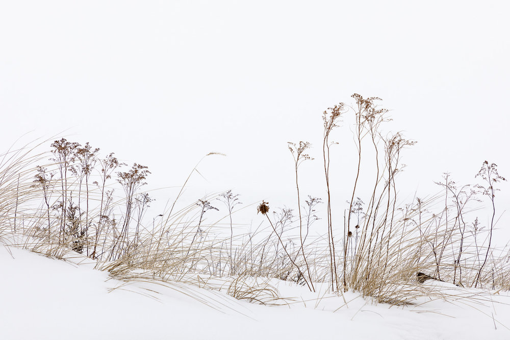 Winter Grasses in the Snow