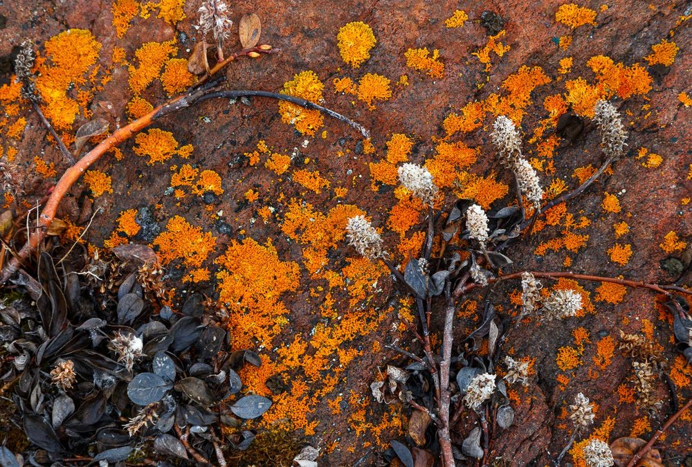 Arctic Willow, Rock and Lichen