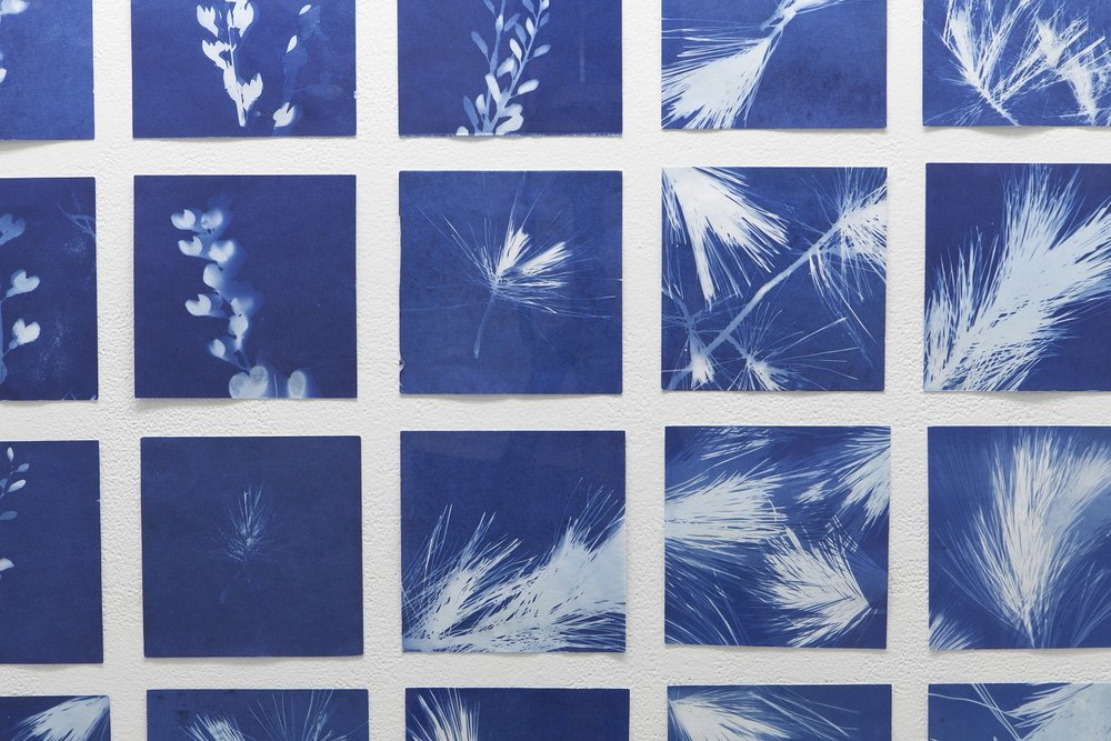 "In the same breath, installation shot of cyanotypes  Collaboration with Joële Walinga September 7 - October 13, 2018 Gallery 44, Toronto  This exhibition investigates the transference of memory from one living thing to another. ""In the same breath"" documents Nauta and Walinga speaking their most intimate memories to plants, capturing these interactions in a series of silent videos and cyanotype prints. Exploring the possibility that plants can retain memory and hold emotions, cuttings from these plants are distilled, creating scents to accompany the works and offering intimate possibilities for engaging the natural world.   gallery44.org/exhibitions/same-breath"