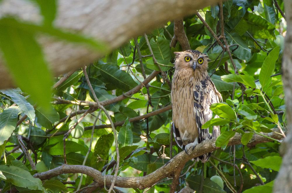 Tawney Fish Owl
