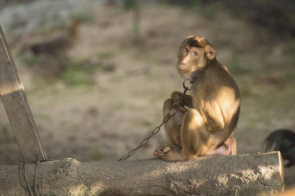 Captive Macaque