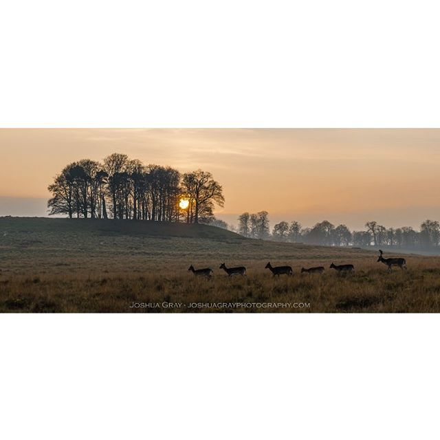 A buck and his harem at sunset at @petworthnt. . . . . #photography #landscape #petworth #nature #naturephotography #landscapephotography #nationaltrust #petworthpark #sunset #wildlife #deer #animals #sussex #ig_sussex #southdowns #photooftheday #instagood #naturelovers #sunset_ig #uk_shots #ukpotd #panorama #nikon #uk_wildlife_images #uk_greatshots #westsussex #nature_lovers