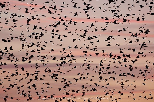 Last night's murmuration/sunset combo was rather gorgeous. . . . . #photography #nature #uk_photooftheday #naturephotography #ukphoto #brighton #ig_sussex #southdowns #sussex #eastsussex #sunset #brightonupyourday #brighton_clicks #wildlife #murmuration #birds #bird_lovers #uk_wildlife_images #visitbrighton #uk_shots #ukpotd #photooftheday #instagood #lovebrighton #visitengland #winter #ig_birds #birdfreaks #animals