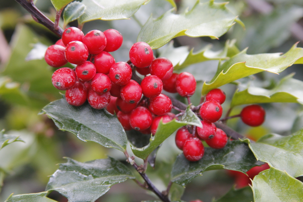 Holly berries in our garden
