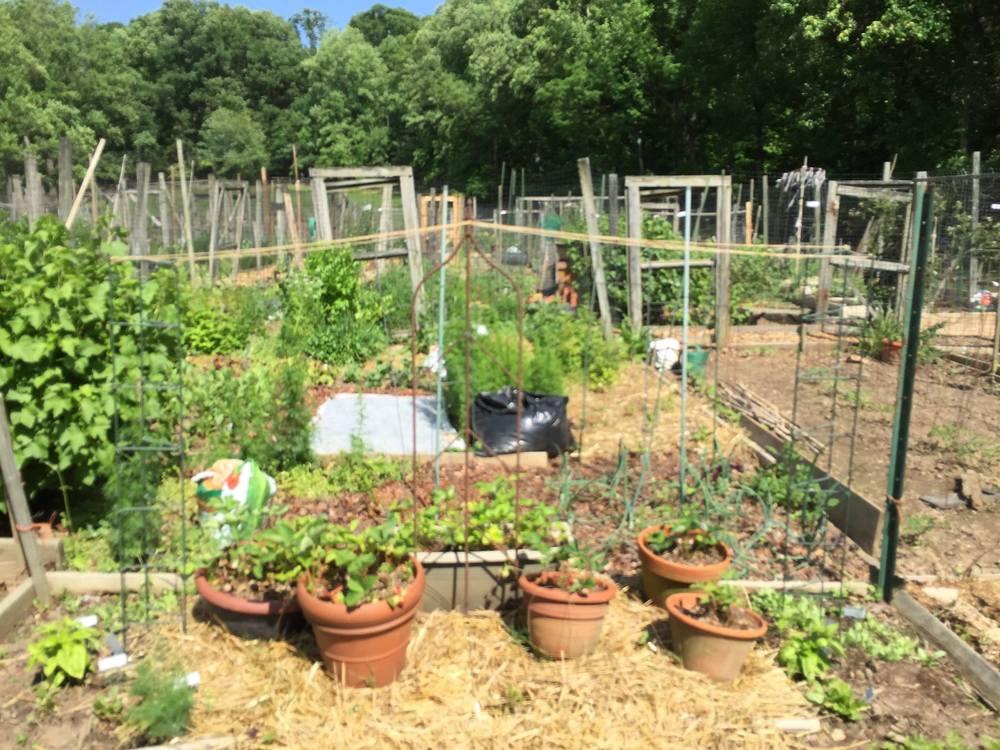 Strawberry plants, bean trellis. borlotti to the left, tarbais to the right. Quack, quack!