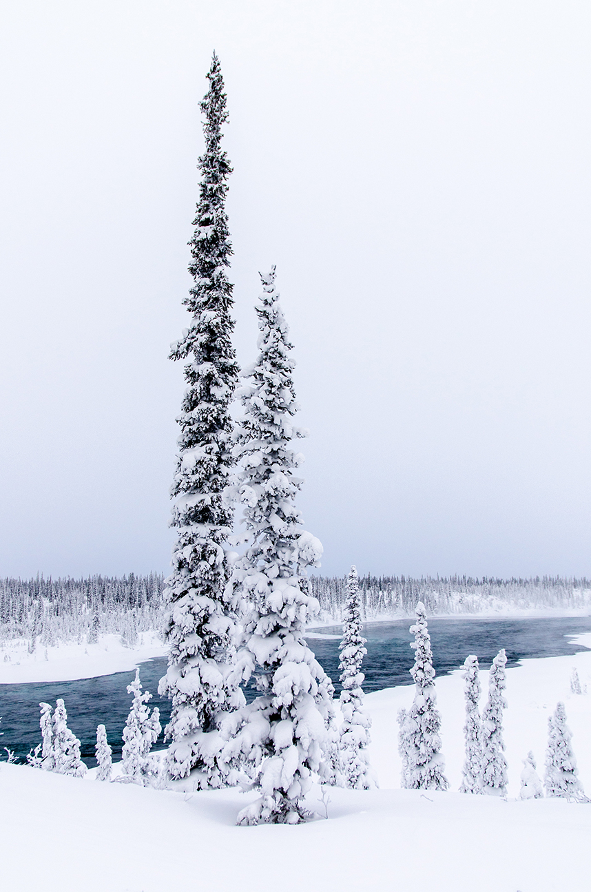 Snow on Pines, Northwest Territories