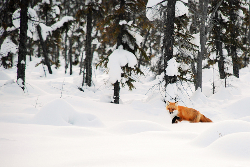 Red Fox in Snow, Northwest Territories.