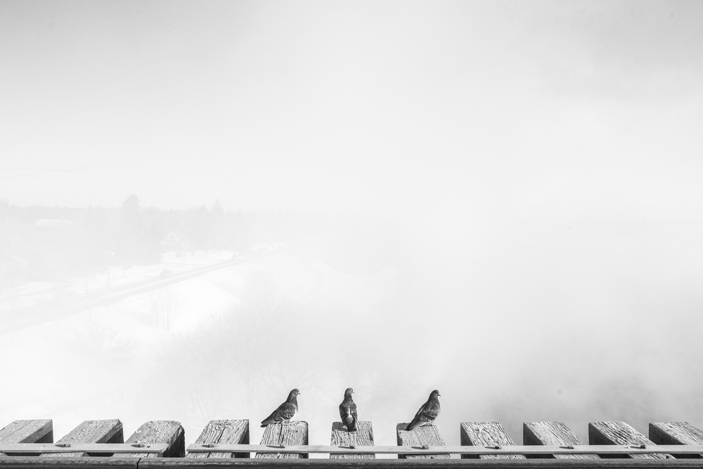 Pigeons in Saskatoon, Canada by Brayden Elliot. From Here and Away.