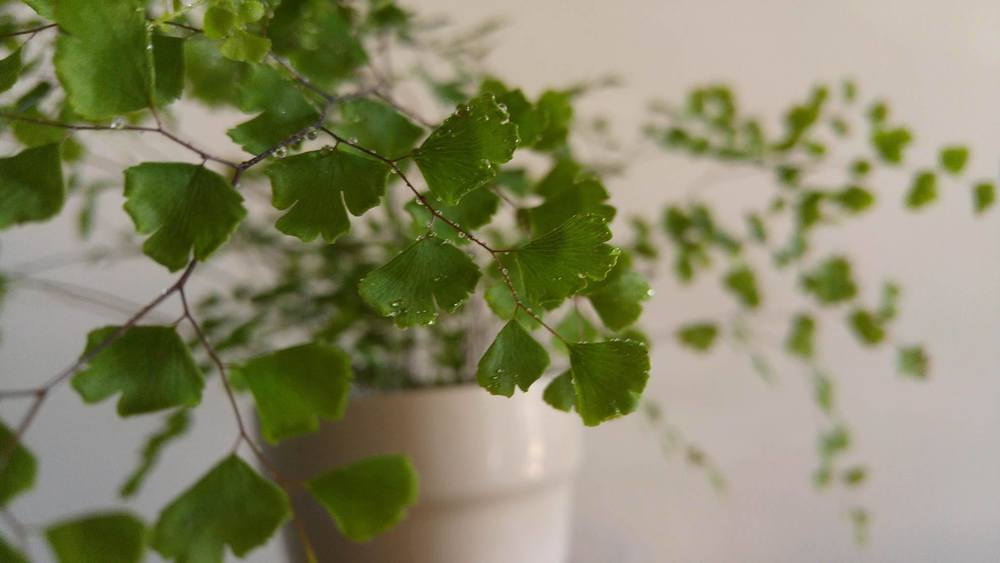 The feathery leaves of the southern maidenhair fern are simply enticing. I've caught TW slobbering all over the dainty foliage of this plant.