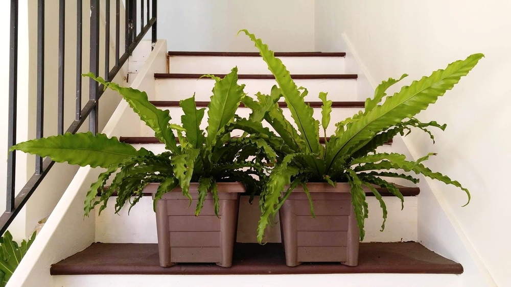 Two curly bird's nest ferns available in our shop!