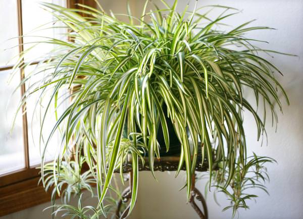 Spider plant with several mature plantlets.