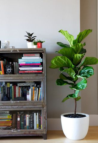 The Finicky Fiddle Leaf Fig U2014 The Zen Succulent | Durhamu0027s Neighborhood  Plant U0026 Gift Shop