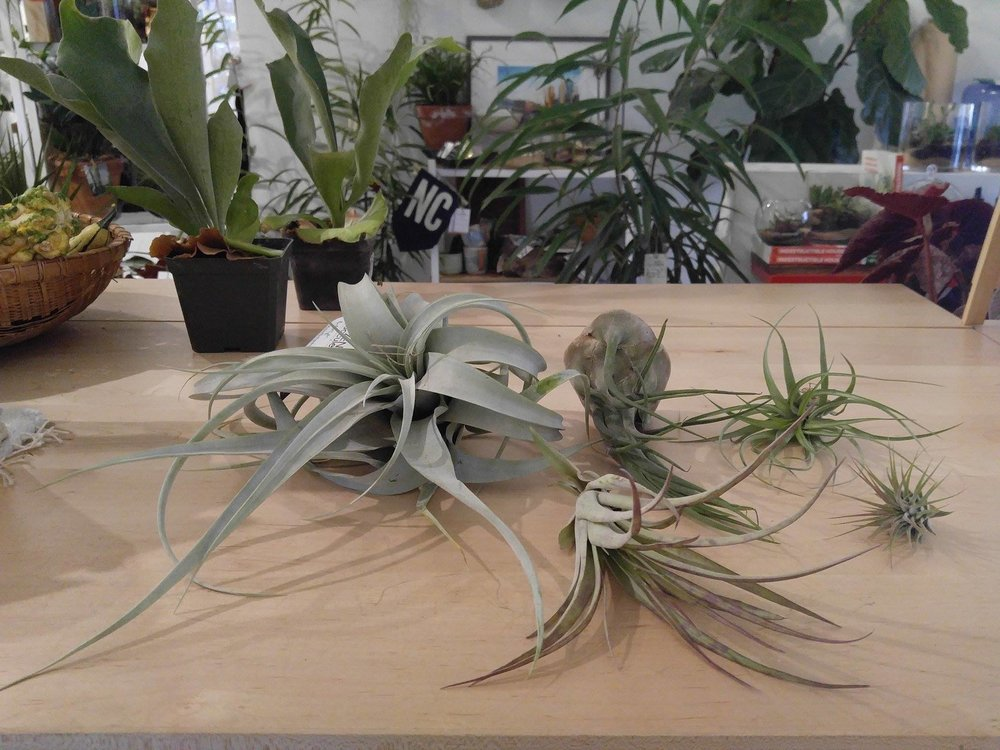 Front center: Tillandsia fasciculata; Back left to right: Tillandsia xerographica, Tillandsia seleriana, Tillandsia harrisii, and Tillandsia ionatha.