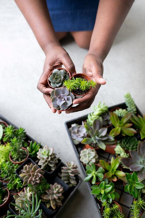 Succulent Terrarium Plants 3 Individual Succulent Plants The Zen