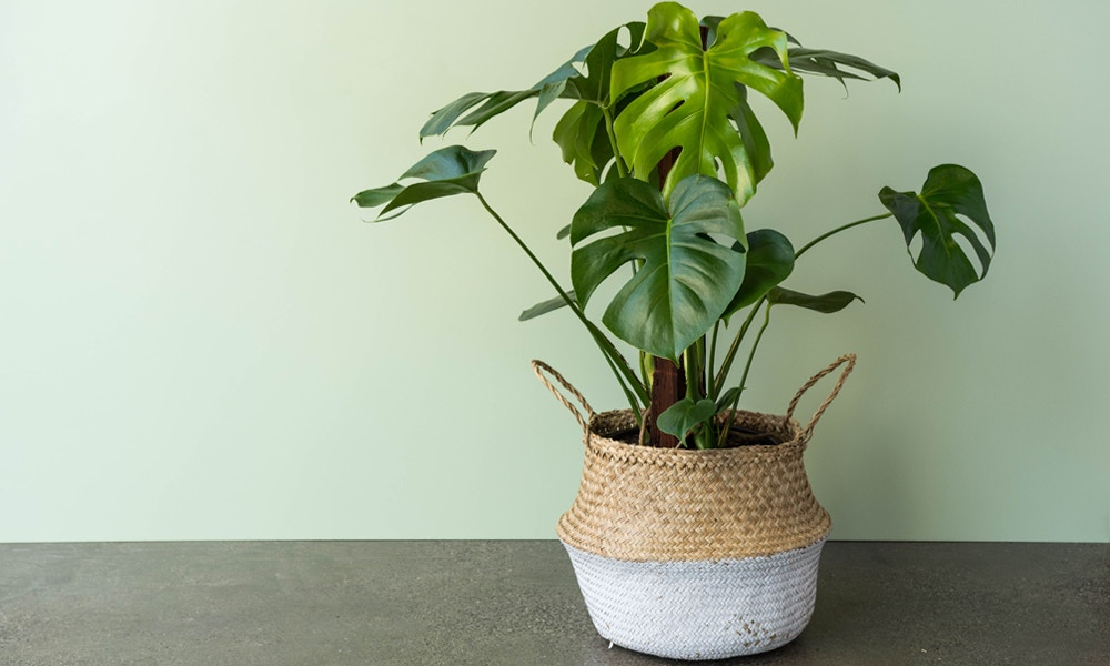 Happy Monstera deliciosa looking especially cute in this basket