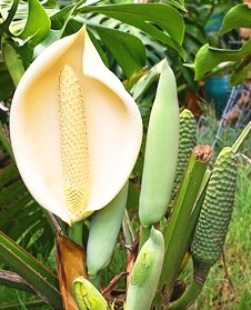 The flower and subsequent fruit of Monstera deliciosa