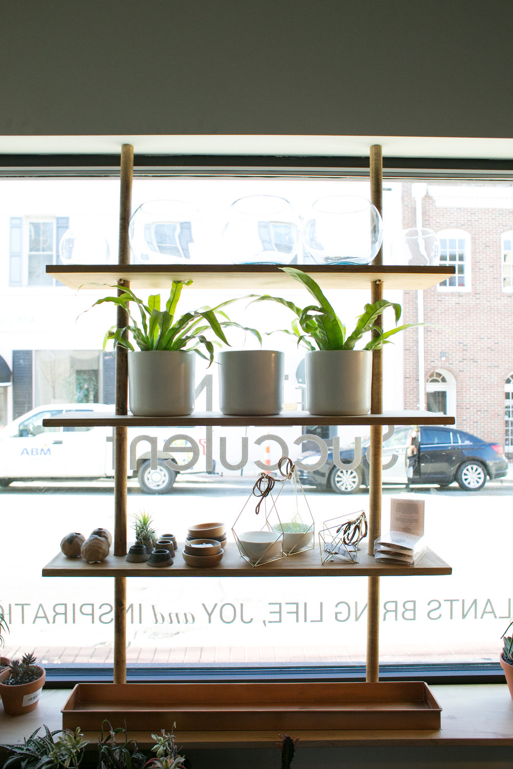 A pair of bird's nest ferns ( Asplenium nidus)  anxiously awaiting spring's arrival in our storefront window.