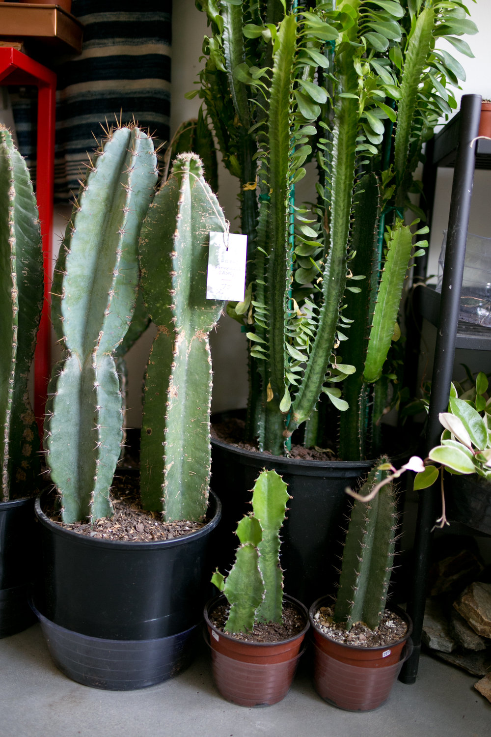 Large cacti, like this Mexican Fence Post Cactus ( Pachycereus marginatus ), can add visual interest to any outdoor space.