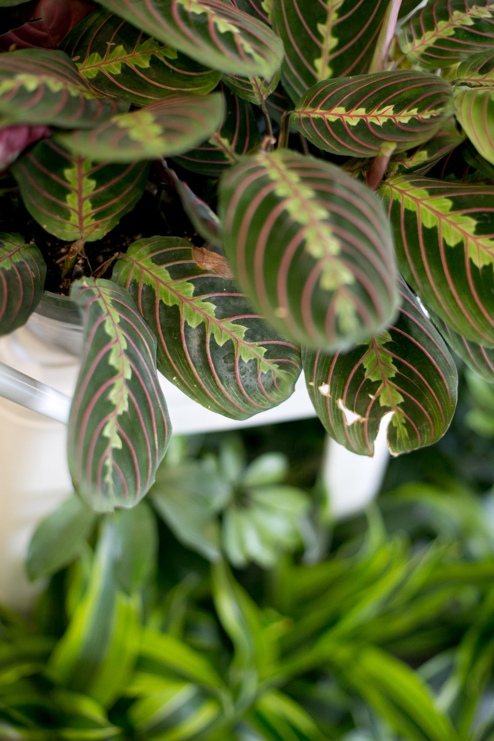 Prayer plants (shown here:  Maranta leuconeura var. erythroneura ) are great gifts for experienced plant moms.  We carry several varieties to choose from, all with unique foliage that adds visual interest to any space.