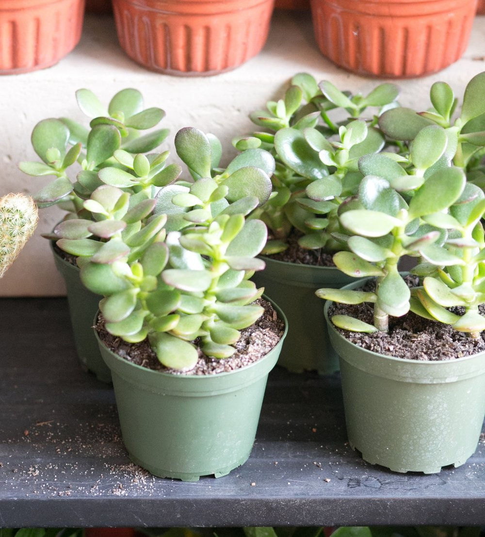 Succulents, like this jade ( Crassula ovata ), can be propagated by leaf or stem cuttings.  Try both methods to see which works best for you.