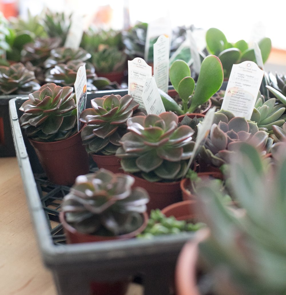 Echeveria grow in compact, rosette patterns, in a variety of colors, from dark purple to seafoam green.