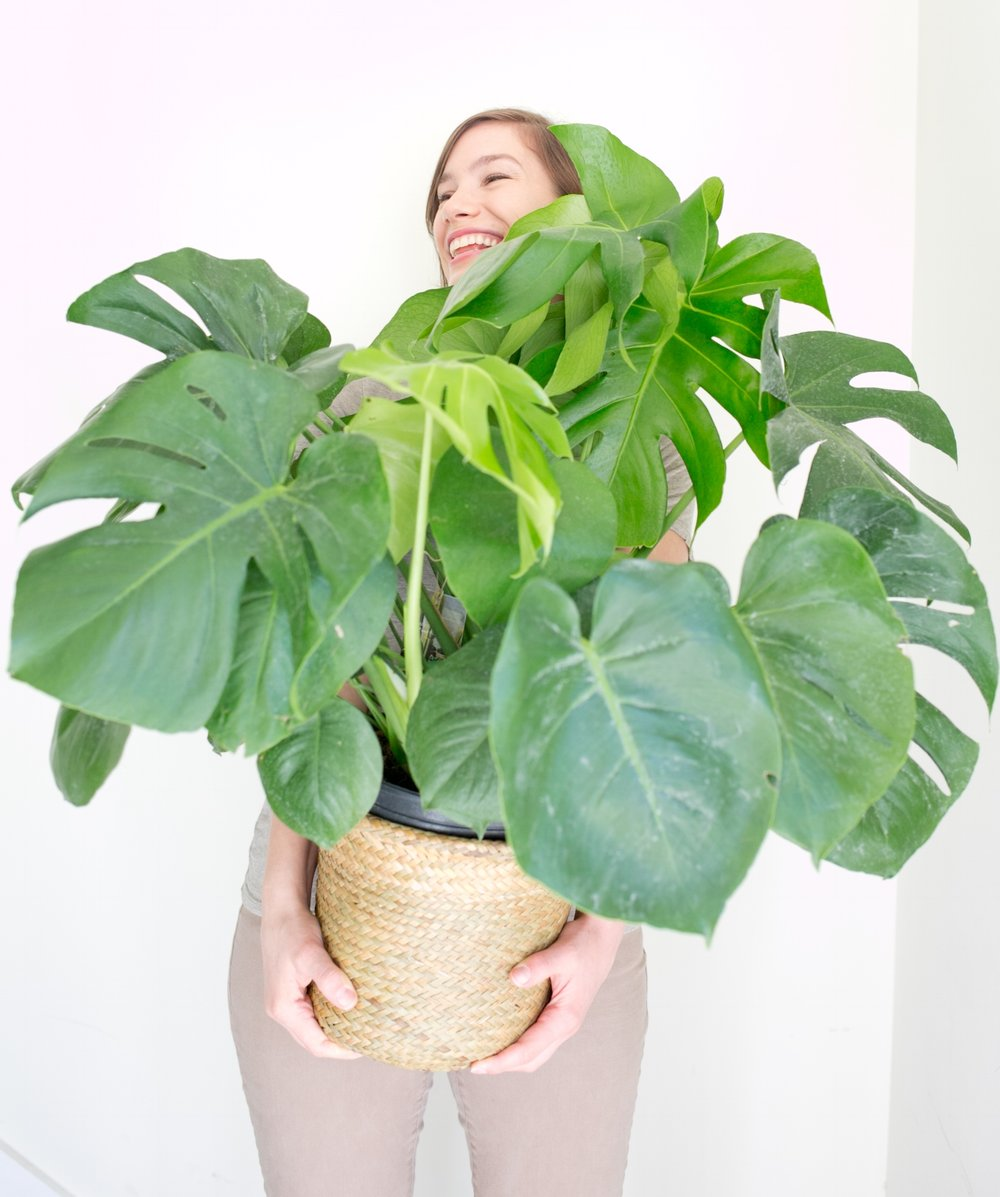 With 300 more square feet, The ZEN Succulent Raleigh boasts more room for large plants, like the ever popular split-leaf philodendron ( Monstera deliciosa).