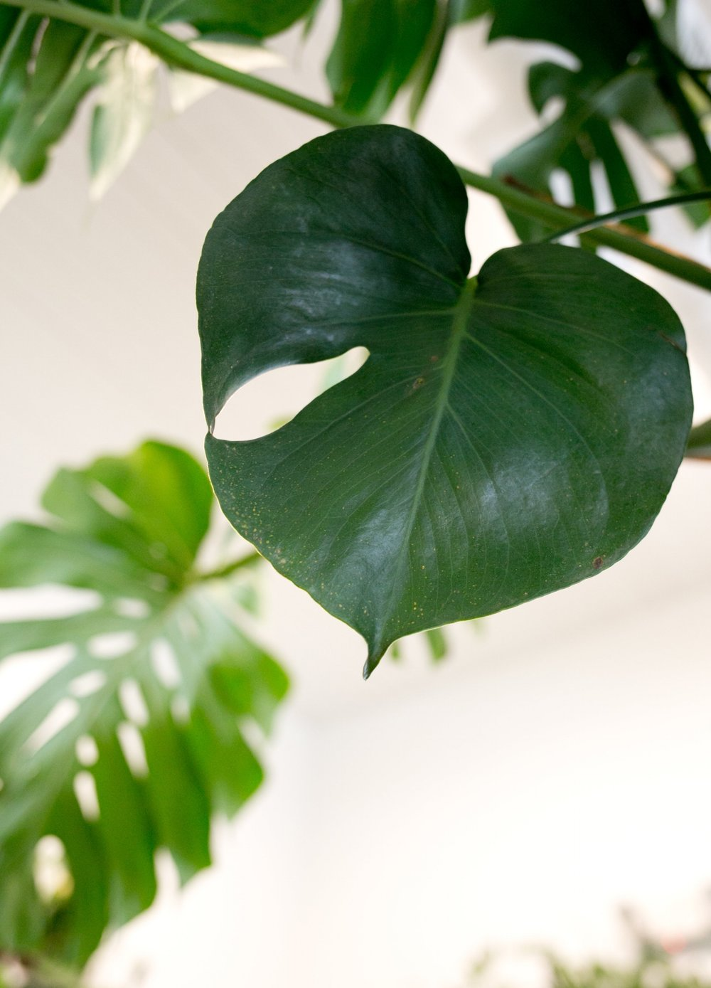 Monstera deliciosa is sometimes incorrectly called a split leaf philodendron .  Philodendron  are related to the  Monstera  genus because the are in the same taxonomic family, Araceae.
