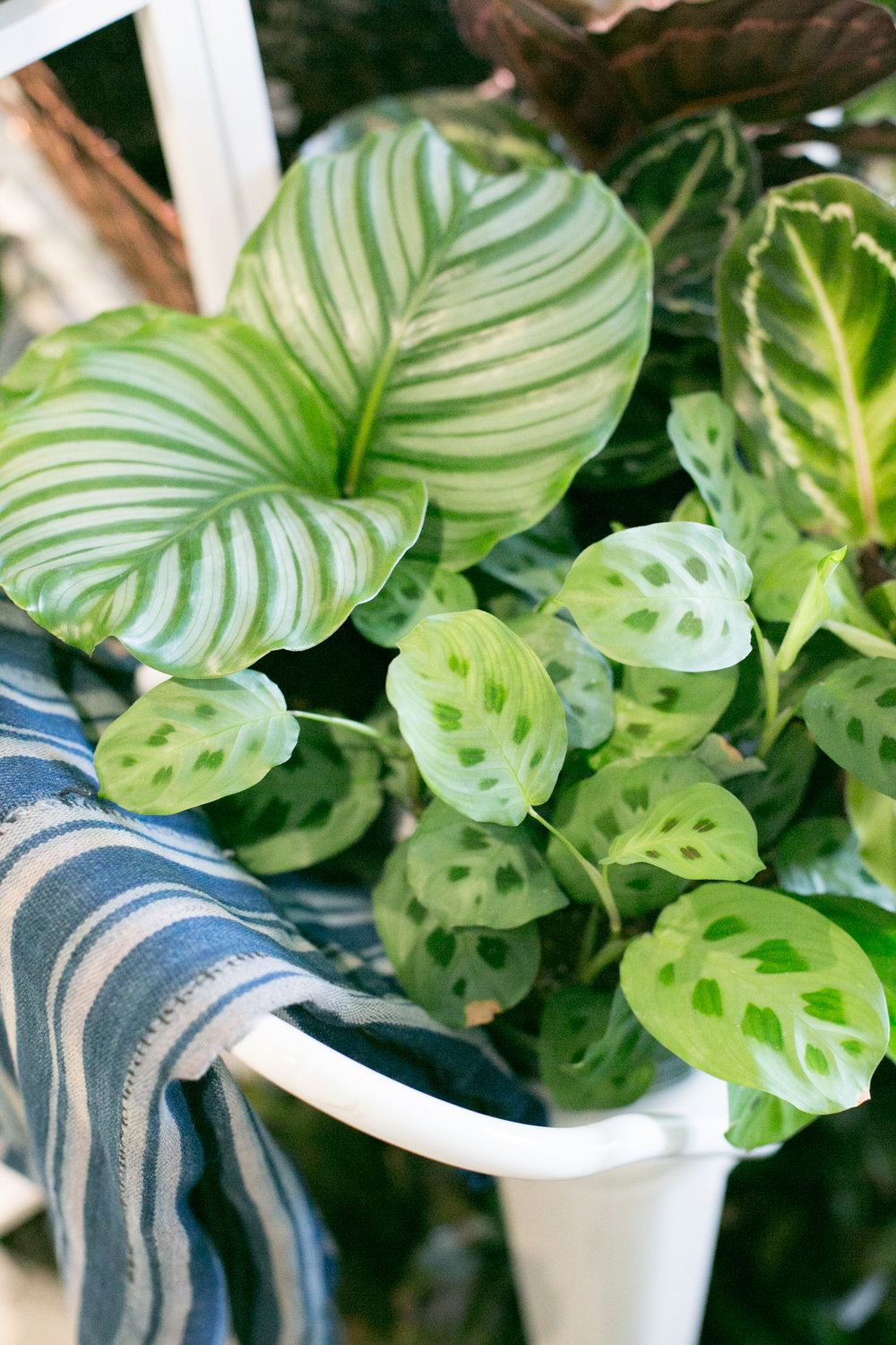Calathea ( Calathea orbifolia ) and Maranta  (Maranta leuconeura ) are common tropical houseplants, known for their delightful leaf patterns.