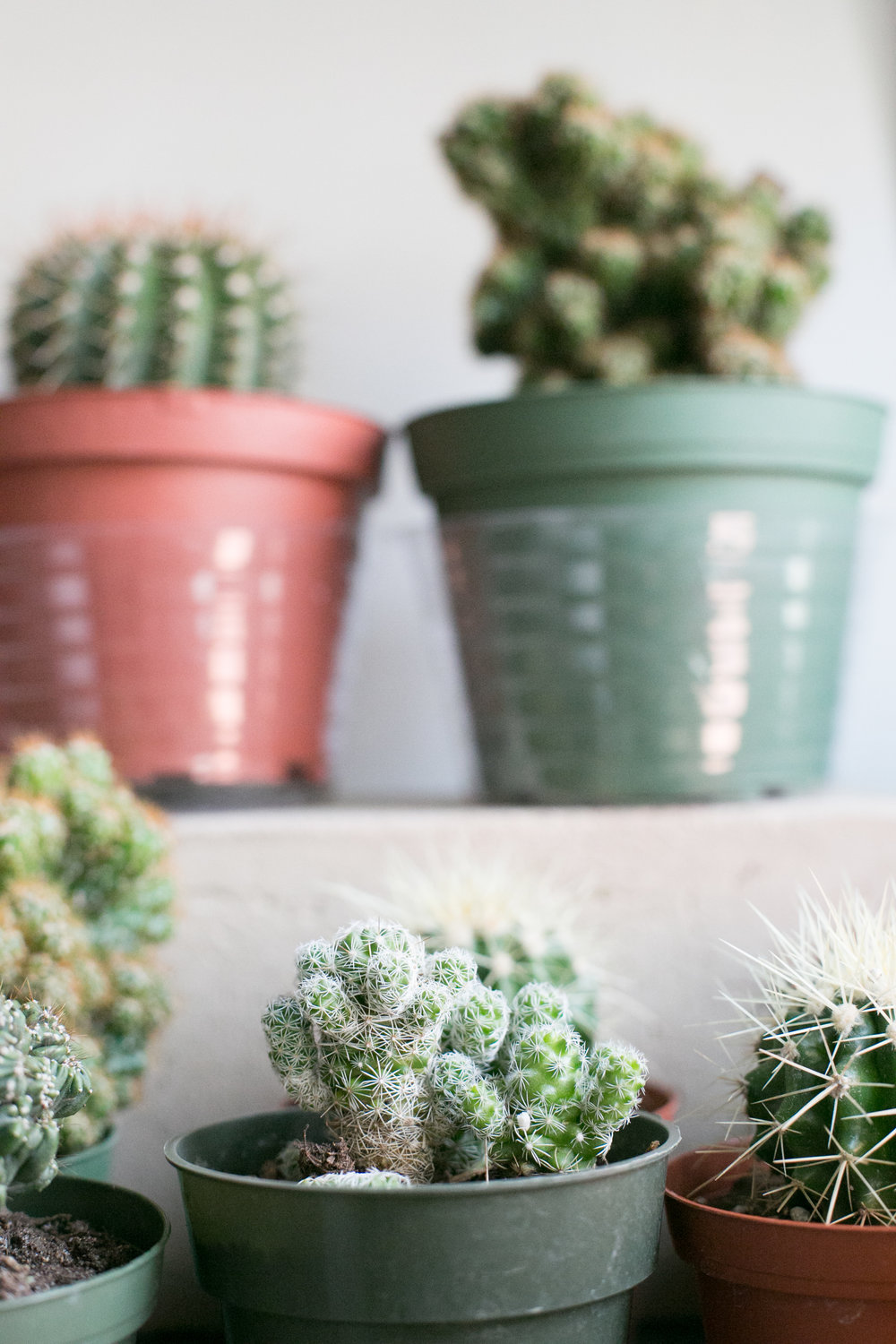 The Thimble Cactus ( Mammillaria gracilis fragilis) is a great starter cactus for beginners.