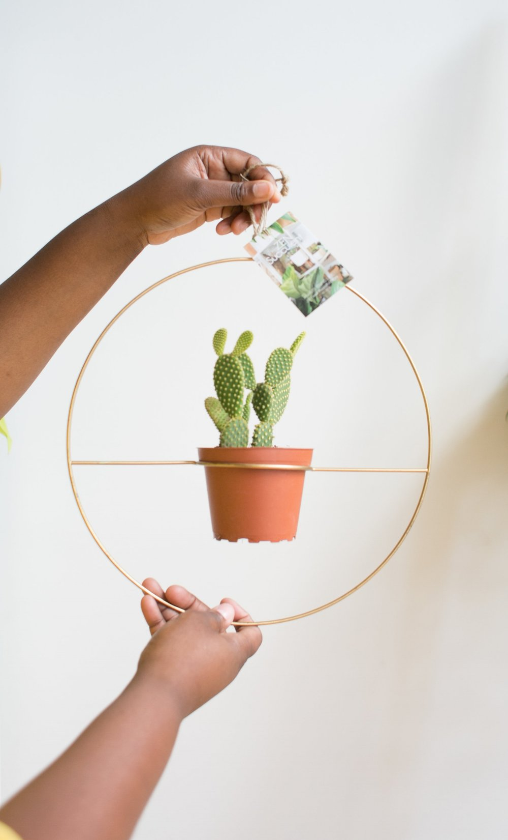 The Bunny Ear Cactus ( Opuntia microdasys ) is deceivingly sweet. Instead of individual spines, this species has short, barbed hairs that grow in groups, called glochids.  They are one of the fastest growing species of cacti, making them fun to watch get larger over time.