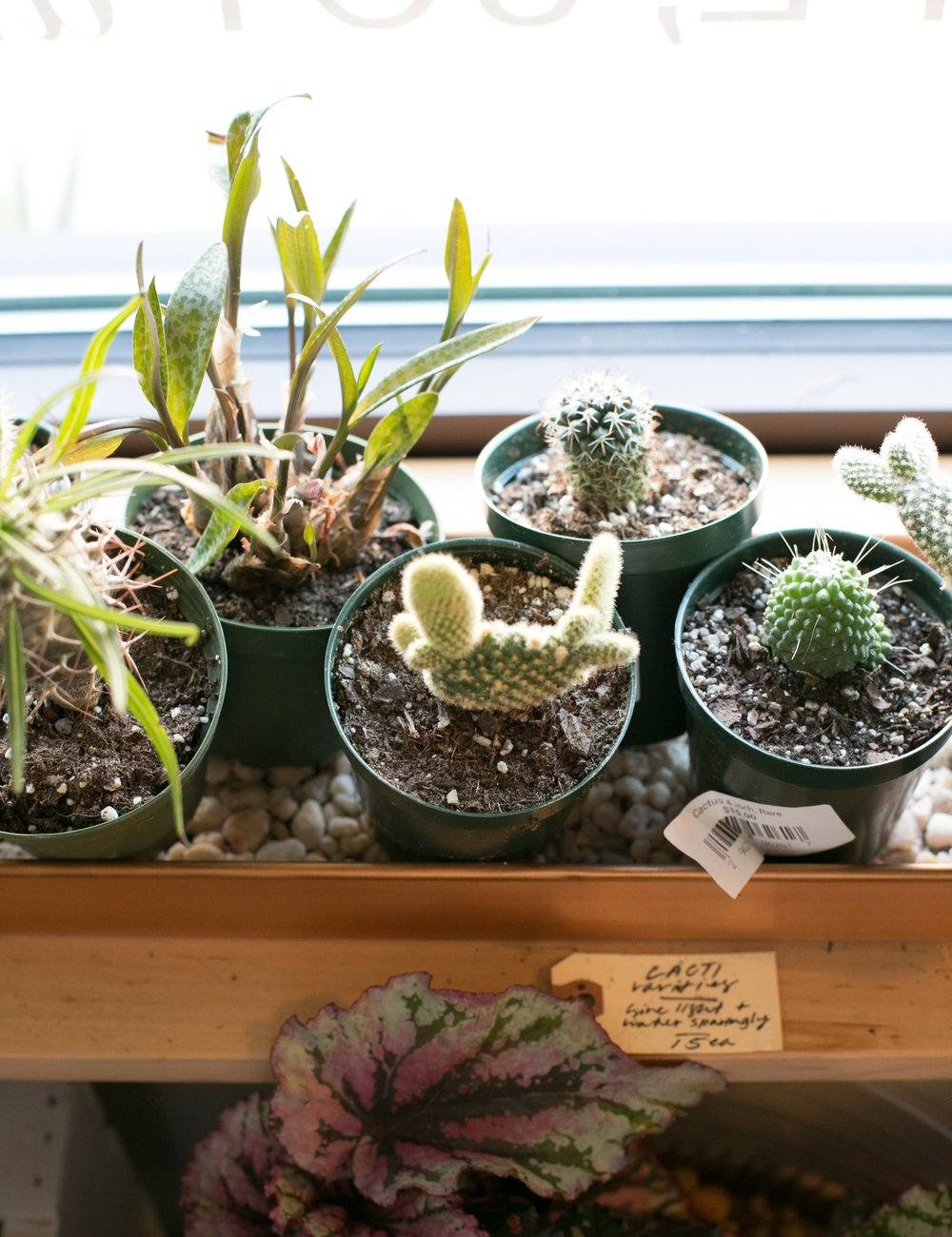 We carry a wide variety of cacti, in all shapes and sizes. If you're not sure you can take care of large cactus quite yet, try a smaller variety.
