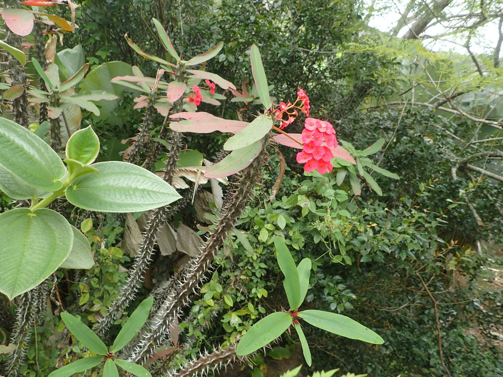 Known commonly as the Crown of Thorns, the species pictured here is the  Euphorbia gottlebei.  It looks very similar to the  E. milli , except that in can grow up to 5 feet in height. Picture taken by the author, Marozevo, Madagascar.
