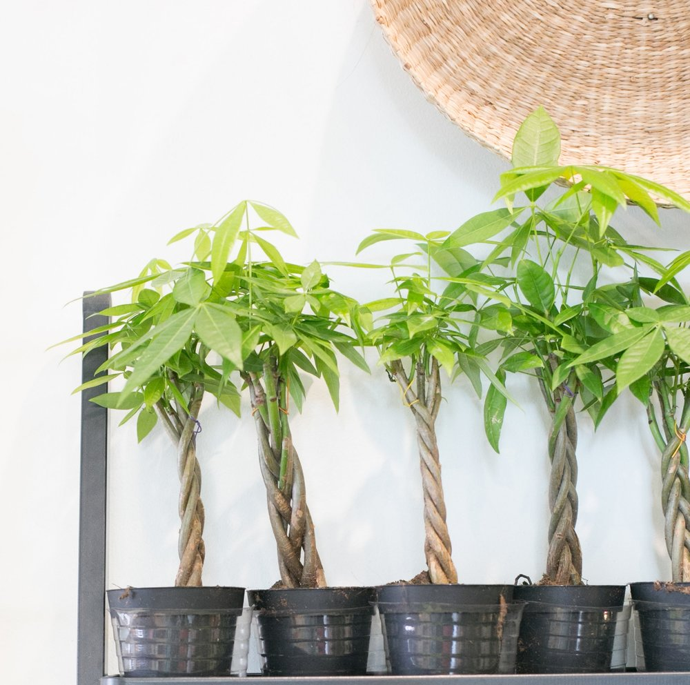 Many money tree plants in cultivation are actually several trees with their trunks braided together.
