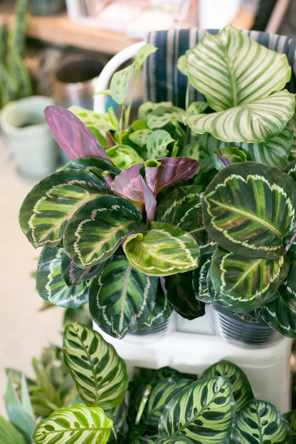 Huddling plants together, like these Calathea varieties, is a great way to increase humidity.