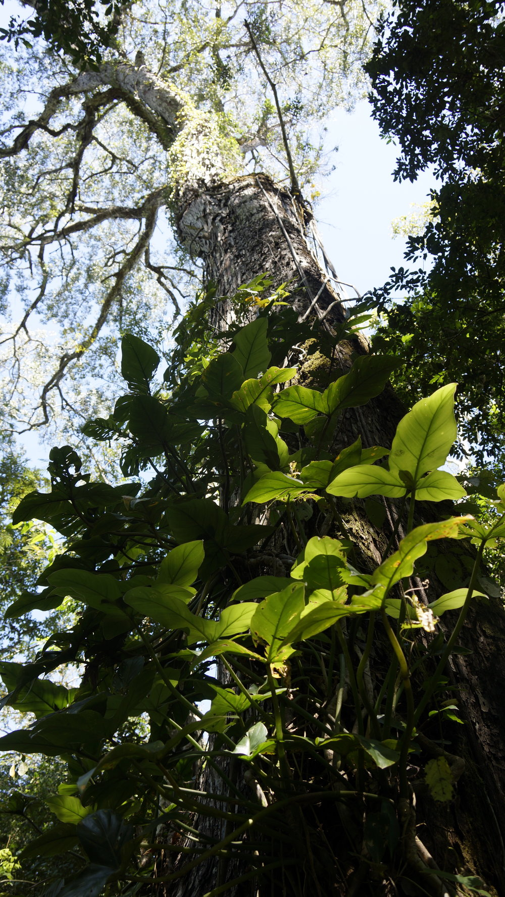 This is an unknown Philodendron species climbing up an old growth Mahogany tree in the Kayapo indigenous territory around the village of Aukre in the state of Para, Brazil. Photo credit  @mickmitty