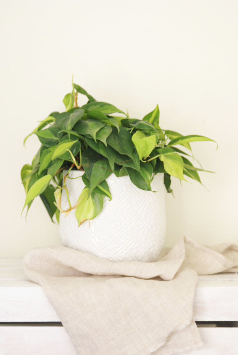 Brazil_Phil_Plant_Textured_White_Pot.jpg