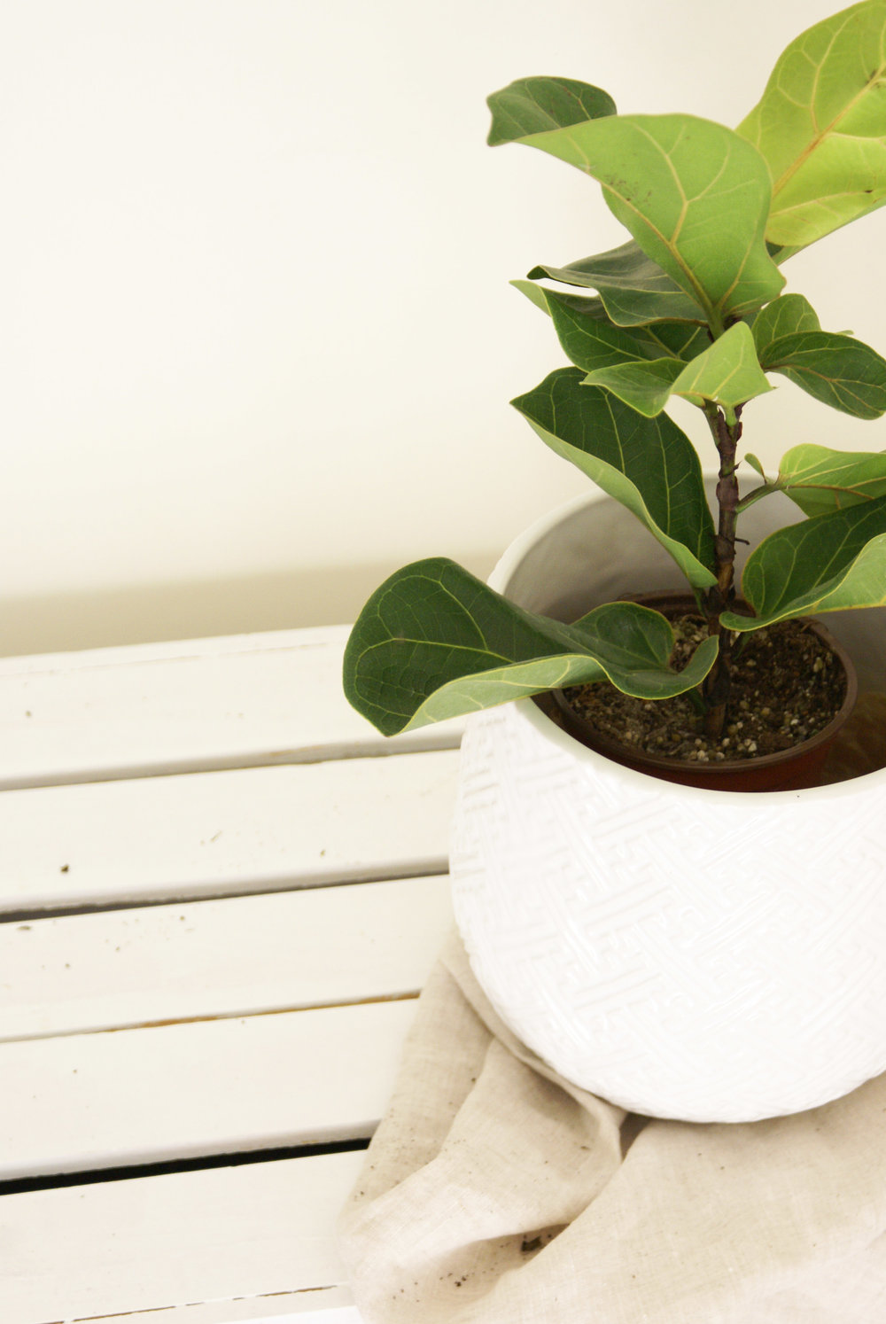 Fiddle_Leaf_Tree_Plant_Textured_White_Pot.jpg