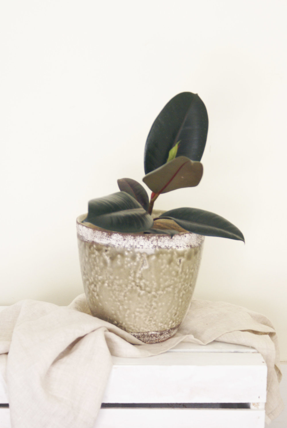 Rubber_Plant_Speckled_Pot.jpg