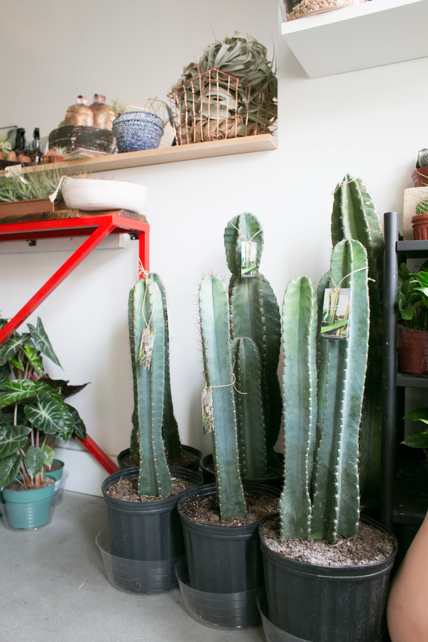 Caring For Large Cacti The Zen Succulent Durham S Neighborhood Plant Gift Shop