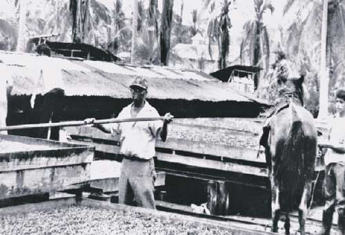 1980 secadores de cacao.jpg