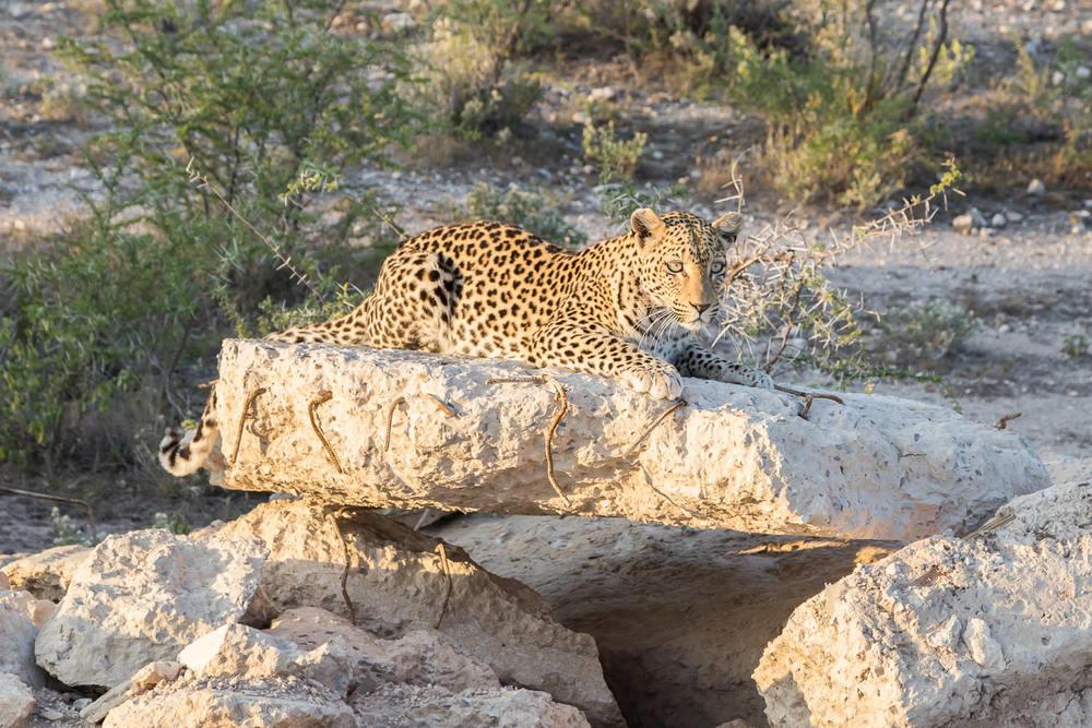 Big 5 - Leopard.jpg