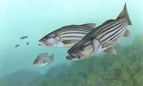 Stripers!